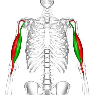 Biceps brachii muscle trainen