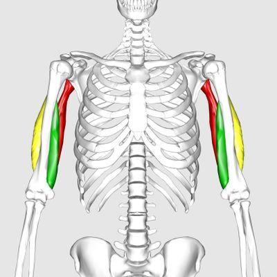 Driekoppige skeletspier Triceps