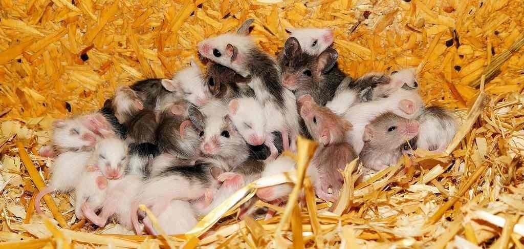 nest muizen, ongedierte? spouwmuurisolatie