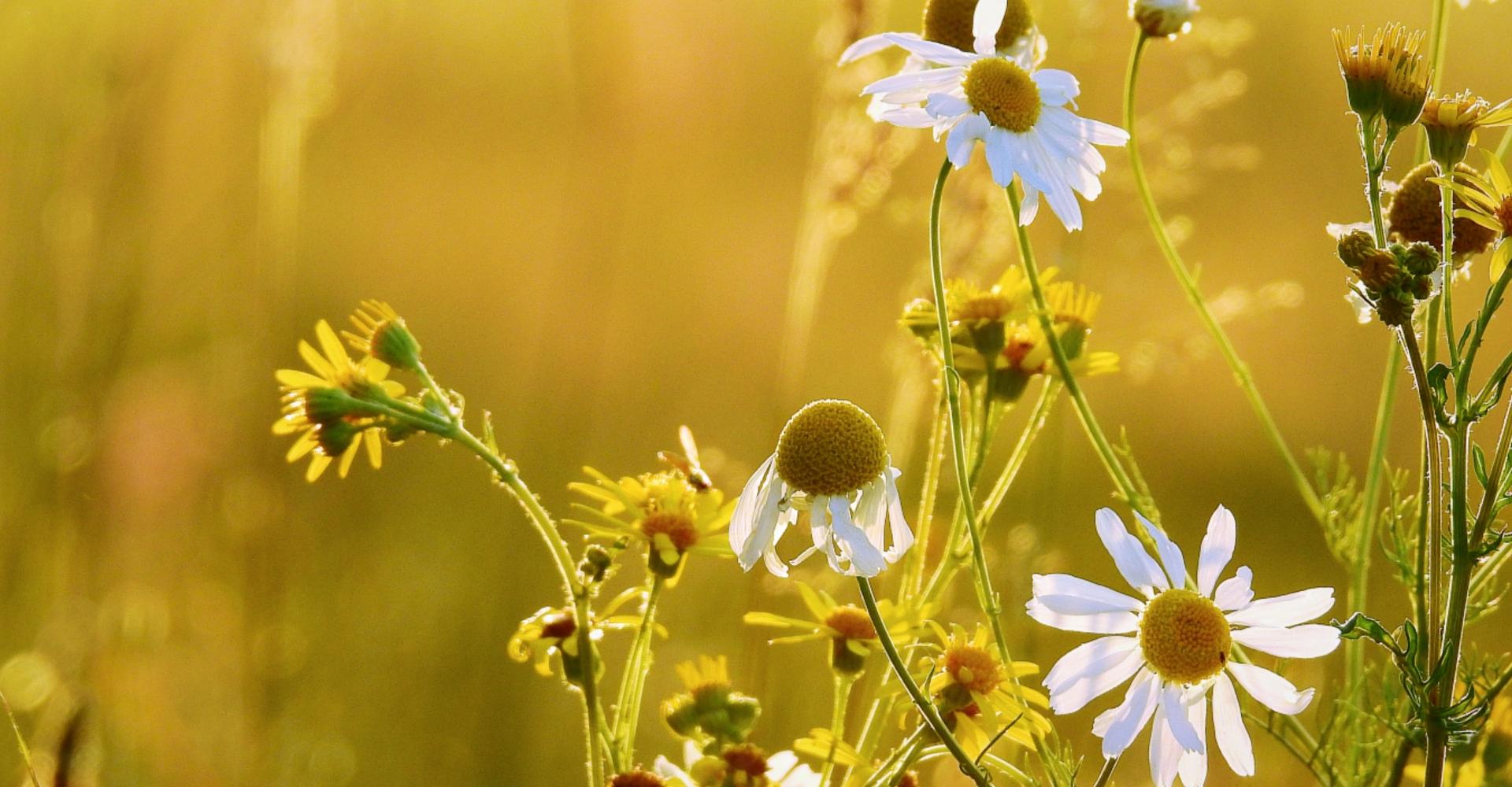 Kamille veld homeopathie
