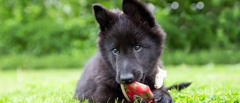 Waarom je pup niet vals is wanneer hij venijnig bijt