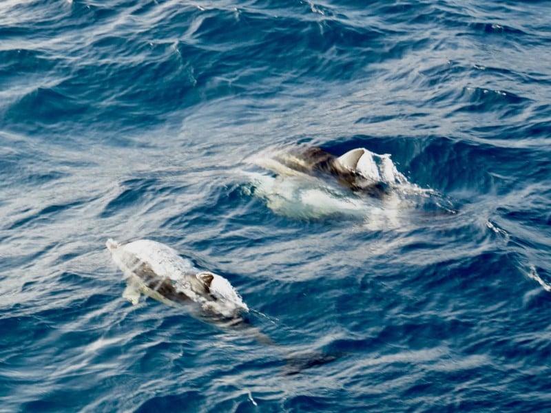 Zwemmende dolfijnen in Nieuw Zeeland