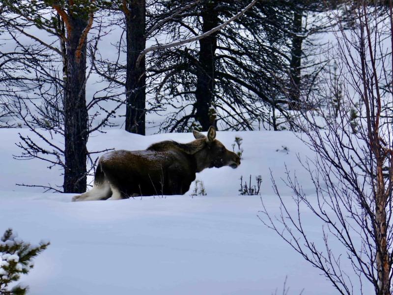 Eland in de sneeuw