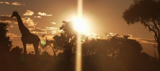 Giraffe met ondergaande zon