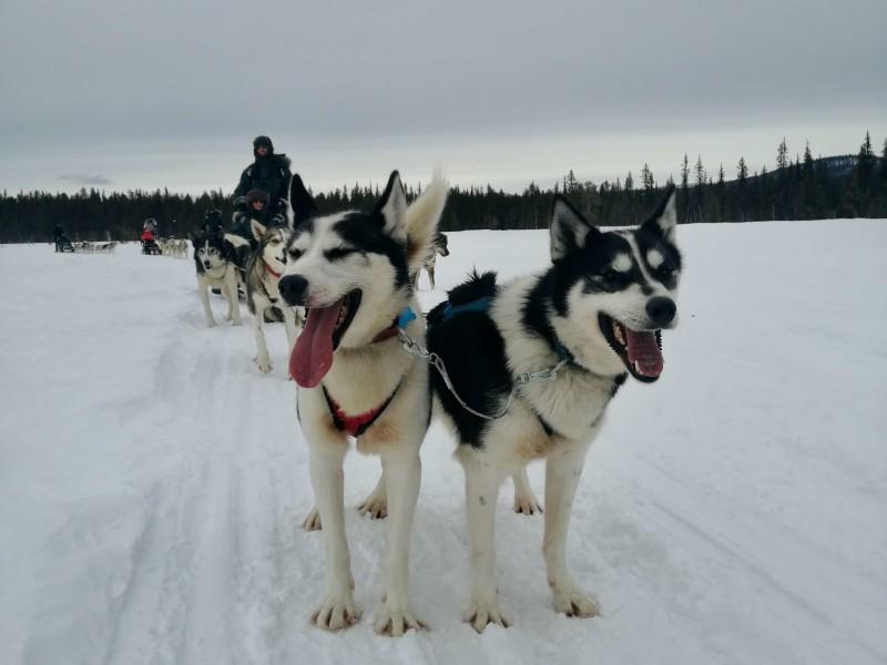 Hondensledetocht Lapland