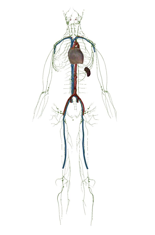 Lymfesysteem vergezelt de bloedvaten met veela dezelfde doortredeplaats