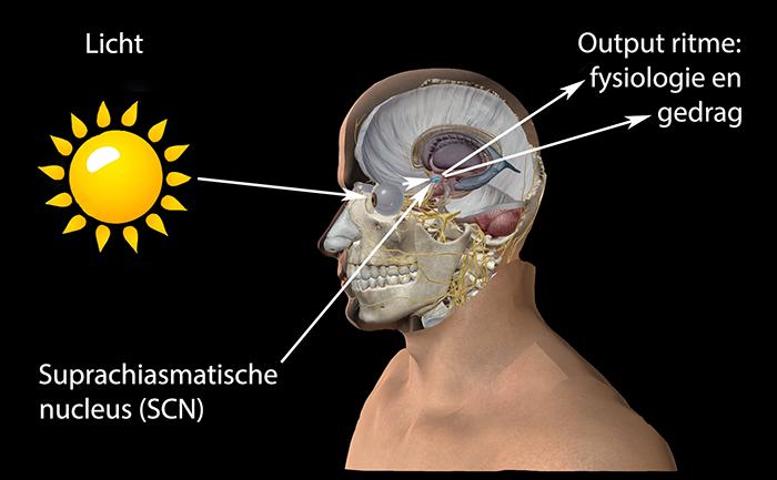 Suprachiasmatische nucleus