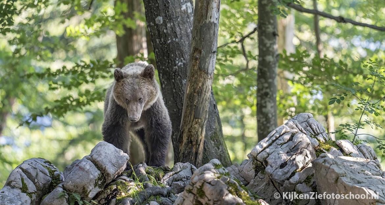 beren fotograferen Slovenie