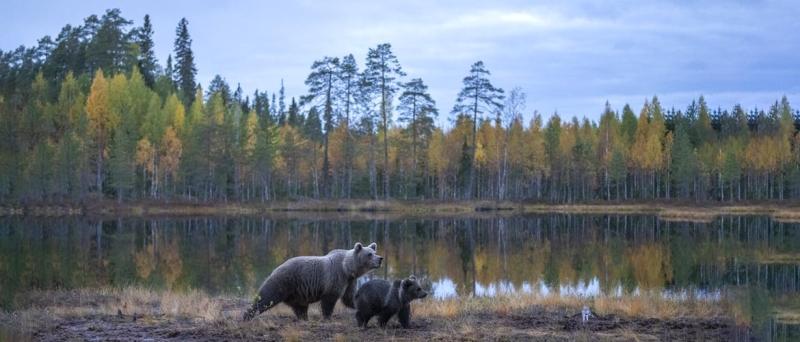 Beren fotografie Wild Brown Bear Bear Centre Finland