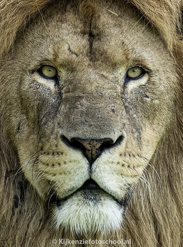 mannetjes-leeuw-portret-closeup