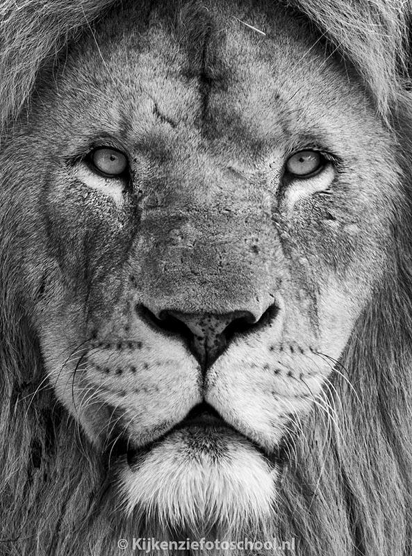 zwart-wit-leeuw-mannetje