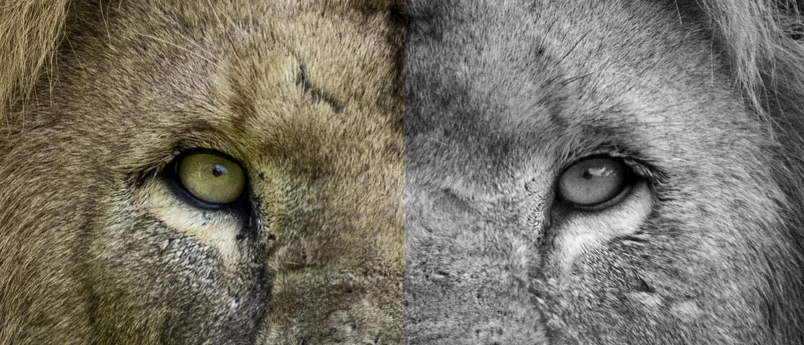 Portret van koning Leeuw