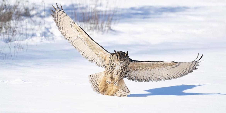 oehoe vleugels sneeuw
