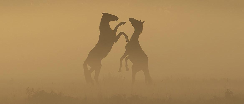 Sfeervolle paardenfotografie bij mist en zonsopkomst (inspiratie)
