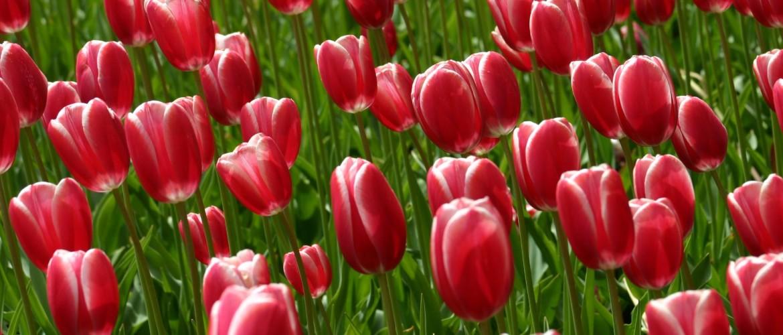 Tulpen fotograferen: 41 Tips en beste plaatsen