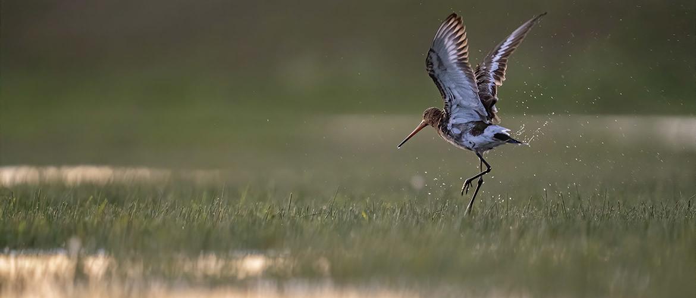 Weidevogels fotograferen: 45 Tips en beste plekken