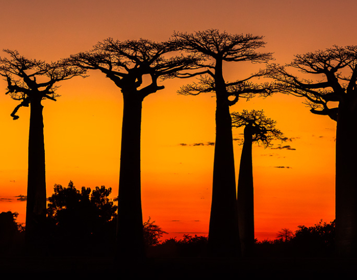 Sunset Photography Avenue of the Baobabs Madagascar