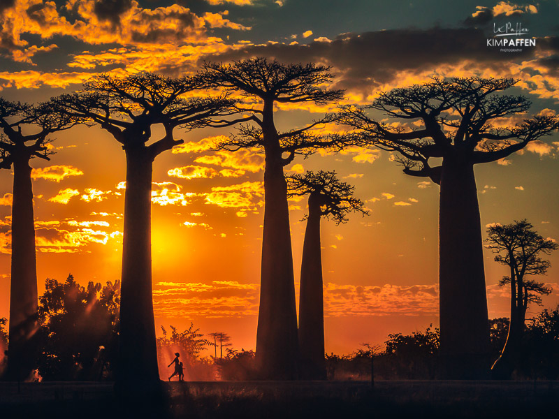 Golden Hour Avenue of Baobabs: Mother of the Forest