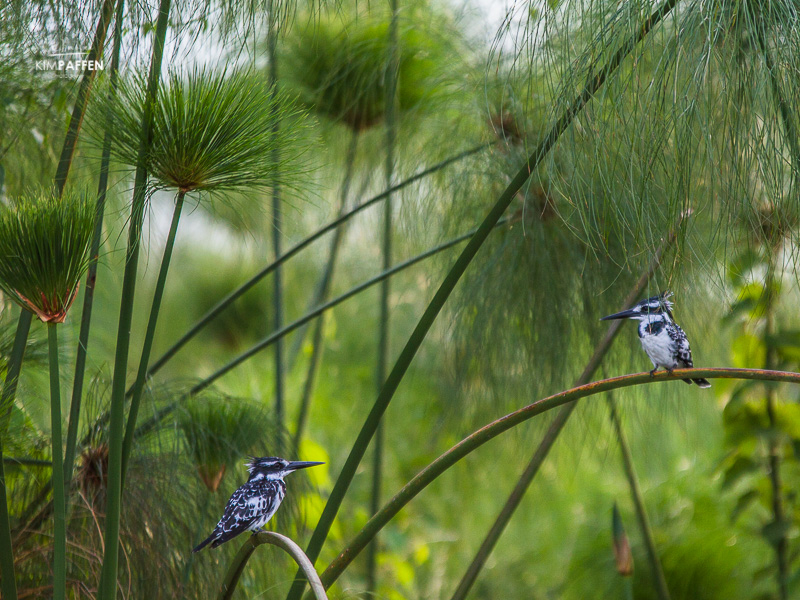 Bird Photography: Kingfisher Lake Victoria Uganda