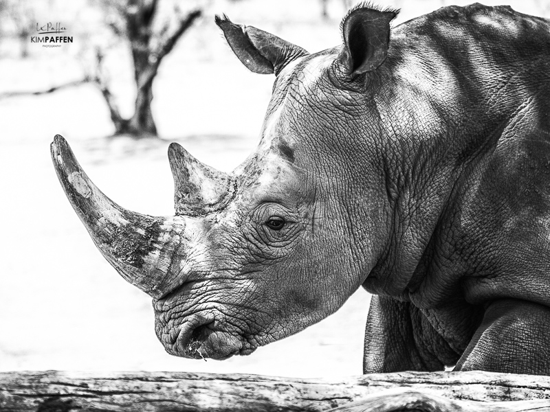Rhino Photography Black and White