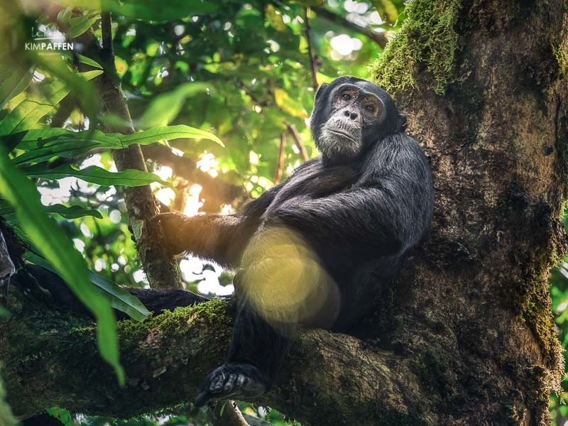 Wildlife Photography: Chimpanzee Kibale Uganda
