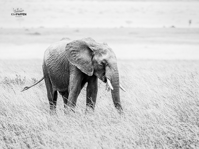 Black and White Elephant Kenya