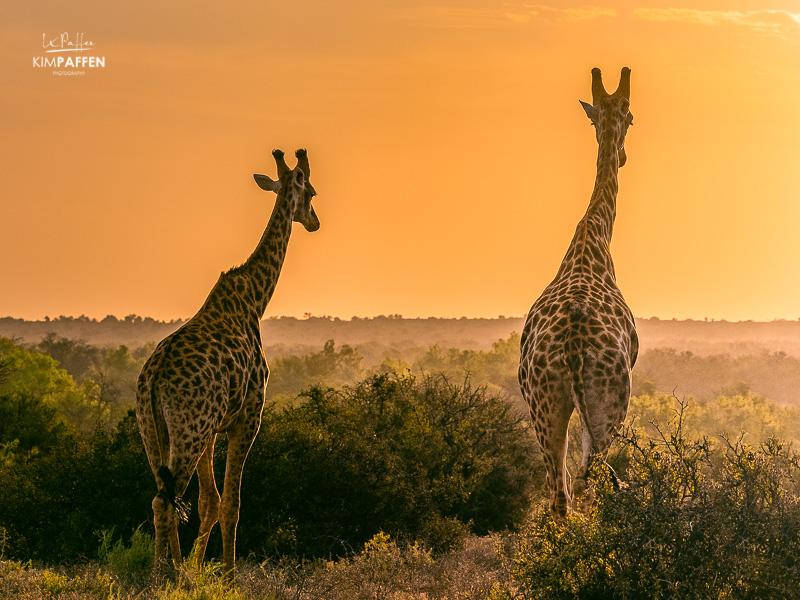 Wildlife Photography in South Africa: Giraffes Samara Karoo