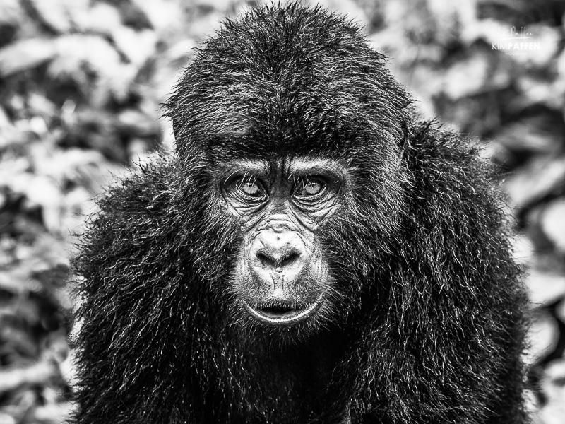 Black and White Gorilla Bwindi Uganda