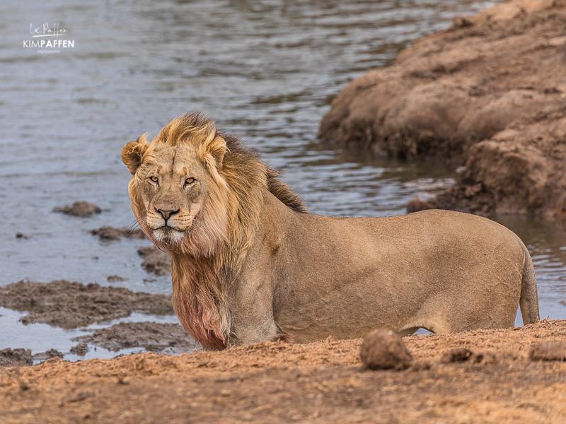 Wildlife Photography Addo Elephant: Lion