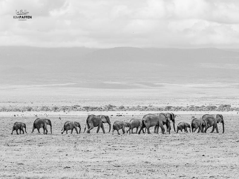 Marching Elephants Amboseli Kenya