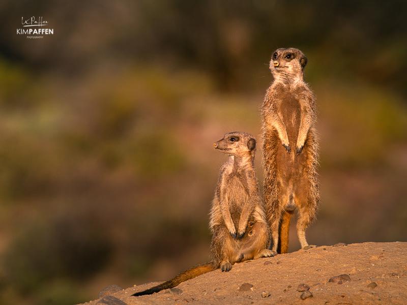 Meerkat Photography in Oudtshoorn South Africa