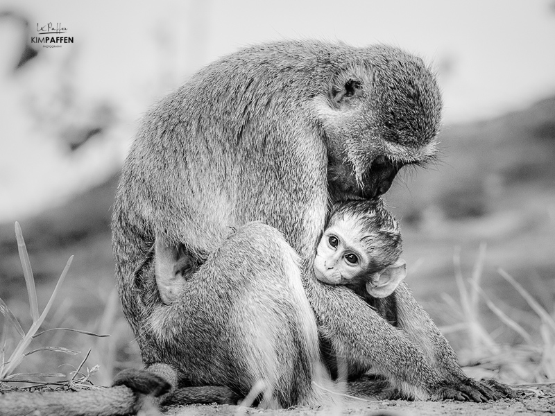 Black and White monkeys in Zambia