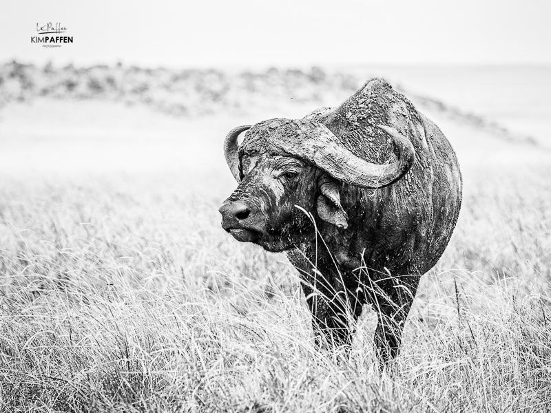 Wildlife Photography in Kenya: Buffalo Big 5