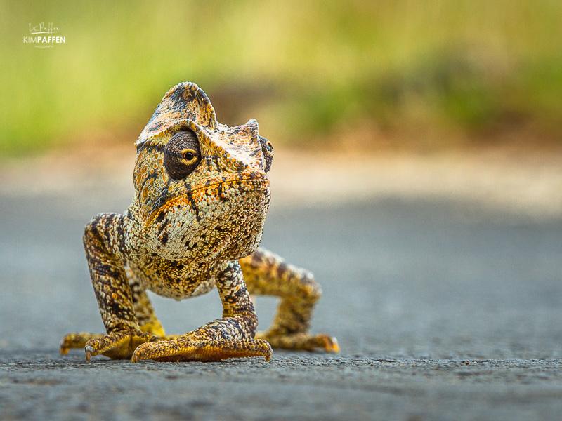 Wildlife Photography in Madagascar: chameleon