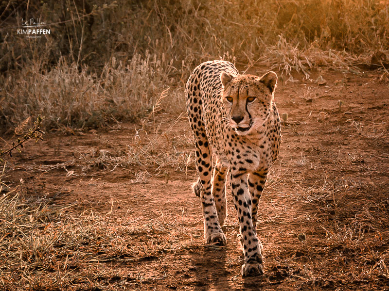 Wildlife Photography in South Africa: Cheetah