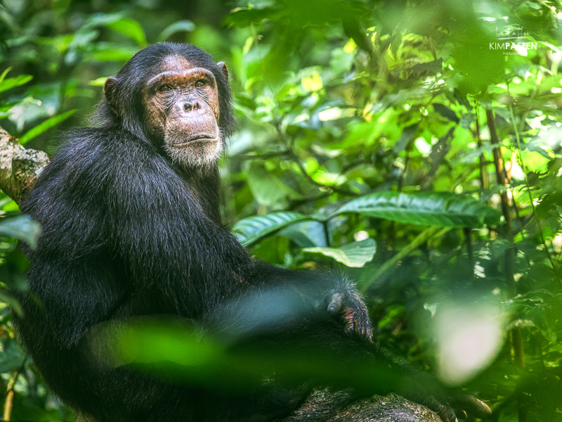 Wildlife Photography in Uganda: Chimpanzee