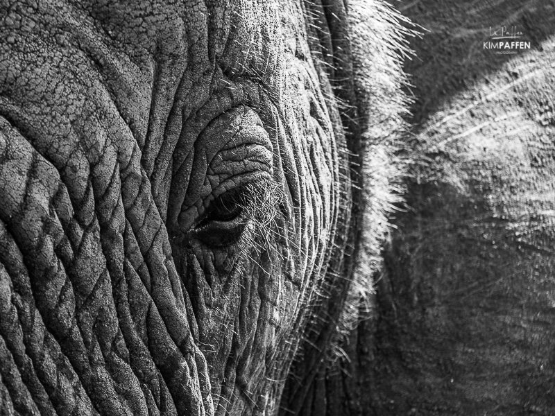 Wildlife Photography in South Africa: Elephant Close Up