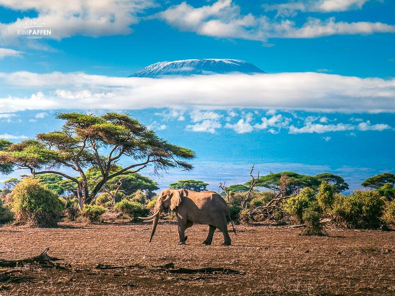 Wildlife Photography in Kenya: Elephant in front of the Kilimanjaro