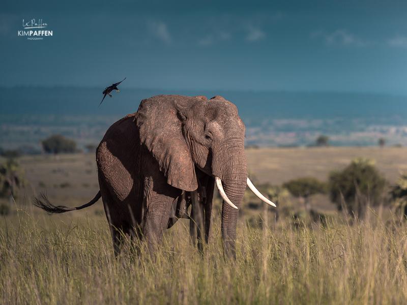 Wildlife Photography in Uganda: Elephant