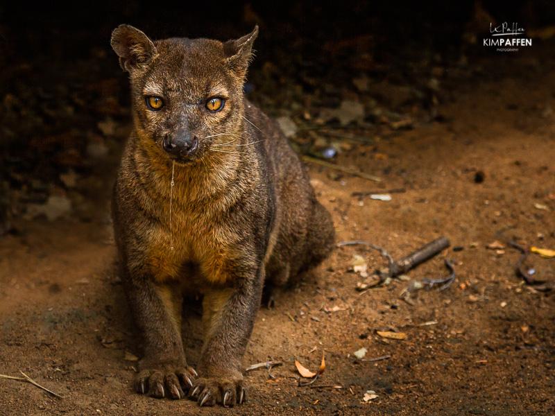 Wildlife Photography in Madagascar: Fossa Giant Rat