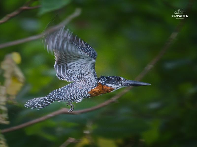 Bird Photography: Giant Kingfisher in Uganda
