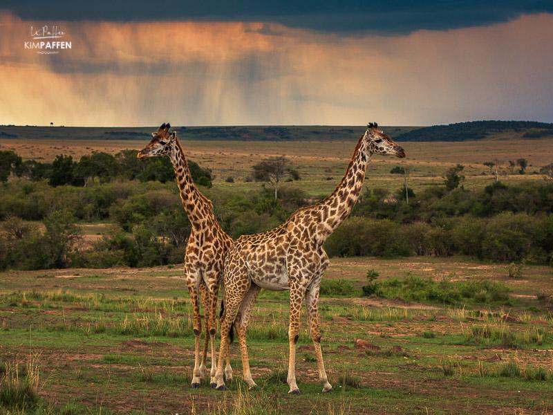 Wildlife Photography in Kenya: Giraffes in Maasai Mara