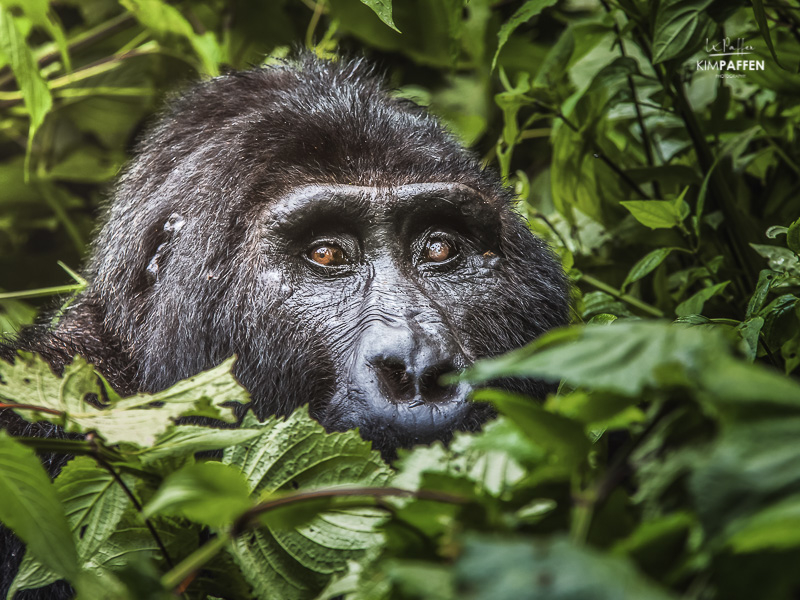 Wildlife Photography in Uganda: Silverback Gorilla