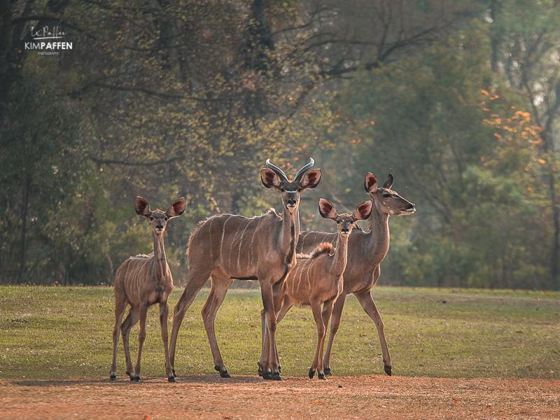 Wildlife Photography Zimbabwe: Kudu Antelopes