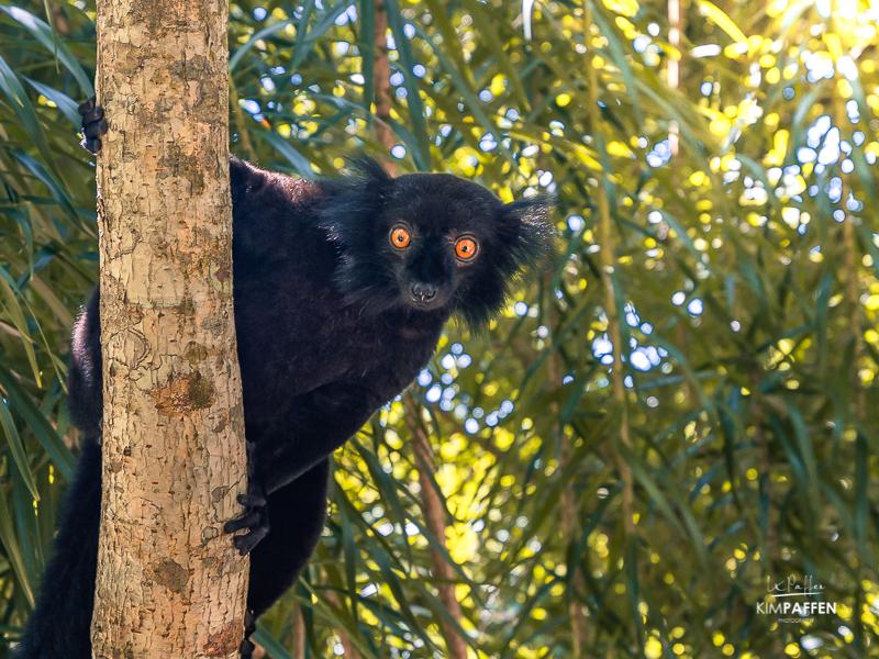 Wildlife Photography in Madagascar: Black Lemur