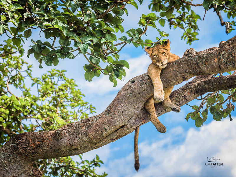 Wildlife Photography in Uganda: Tree climbing lions