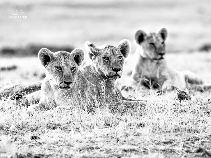 Wildlife Photography in Kenya: Lion Cubs