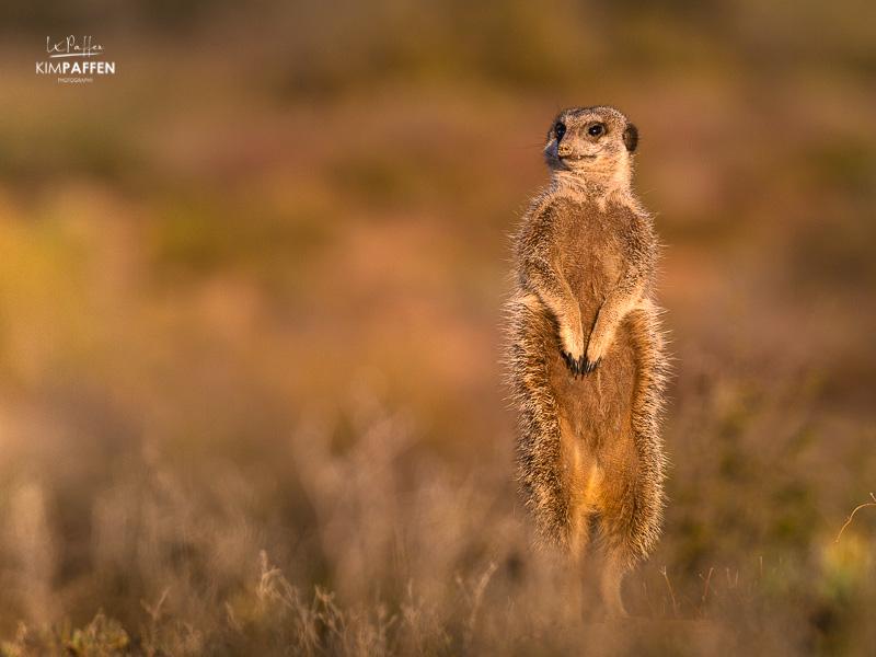 Wildlife Photography in South Africa: Meerkat in Oudtshoorn