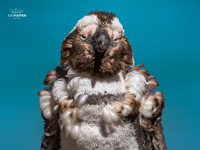 Wildlife Photography: Molting African Penguin