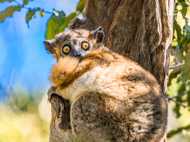 Wildlife Photography in Madagascar: Nocturnal Lemur